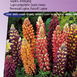 Lupinus Russell Hybrids Mix