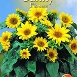 Sunny Flowers - Pacino Gold