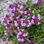 Thymus praecox 'Purple Beauty' - Tijm